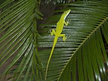 Anole. An anole posing on some large tropical leaves royalty free stock image