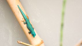 Anole azul que senta-se em uma vara imagens de stock