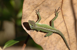 Anole catching the sun. A small Anole trying to stay warm Stock Photos