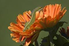 Anole che prende il sole su una margherita fotografie stock