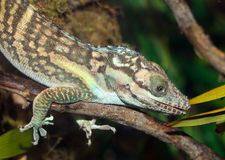 Anole Stock Images