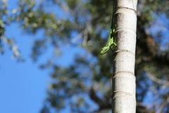 Anole cubano del cavaliere su una palma alta Fotografia Stock Libera da Diritti