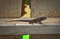 Anole on a fence. A brown anole hugging a fence on Maui Stock Images
