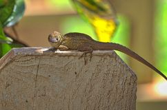 Anole on a fence plank. A brown anole guarding his fence Royalty Free Stock Photography
