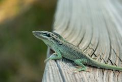 Chill Anole royalty free stock photography