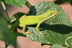 anole green obraz royalty free