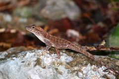 Anole at Guanica State Forest Stock Photos