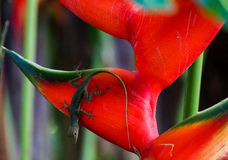 Anole on Heliconia in Guadeloupe Stock Images