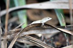 Anole on a Leaf Stock Images