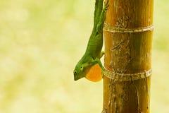 Anole Lizard. Closeup of Anole lizard in Jamaica royalty free stock photo