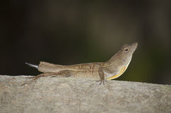 Anole lizard Royalty Free Stock Photo
