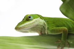 Anole lizard. On leaf - isolated stock image