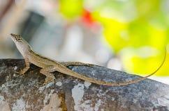 Anole lizard Stock Photography