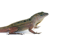 Anole lizard Stock Photos