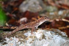 Anole Lizard Guanica State Forest Stock Photos