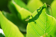 Anole lizard in Hawaii. A closeup view of an anole lizard silhouette on a citrus leaf in Kauai, Hawaii stock photo