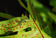 Anole lizard in Hawaii Royalty Free Stock Photography