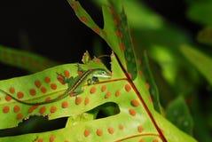 Anole lizard in Hawaii stock photo. Image of bathing ...