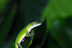 Anole lizard in Hawaii Royalty Free Stock Photos