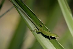 Anole Lizard. On a palm frond Florida royalty free stock photo