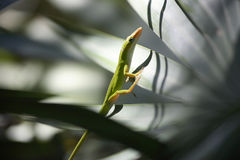 Anole Lizard 3. Anole Lizard on a palm frond Florida stock image