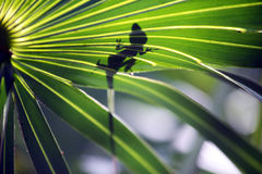 Anole Lizard 4. Anole Lizard on a palm frond Florida royalty free stock photo