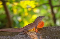 Anole Lizard in Profile with Light Shining Through Skin. Anole lizard stands in profile in defensive stance with dewlap extended.  Sun shining in background Stock Photos