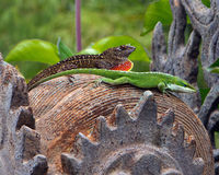 Anole lizards Royalty Free Stock Images