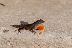 Anole lost it's tail Royalty Free Stock Photography