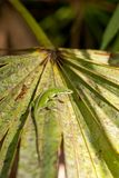 Anole on Palmetto Stock Images
