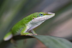 Anole Reptile on Leaf Stock Photos