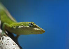 Anole sur un branchement Photos stock