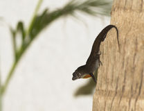Anole on Tree Displays Throat Pouch in the Yucatan, Mexico Stock Photo
