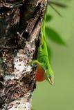 Anole verde Imagem de Stock Royalty Free