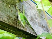 Anole verde Immagini Stock