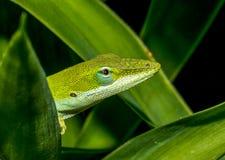 Anole verde Fotografia Stock