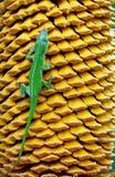 Anole vert et graines jaunes de paume de sagou image libre de droits