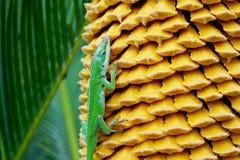 Anole vert et graines jaunes de paume de sagou photo stock