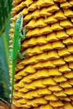 Anole vert et graines jaunes de paume de sagou images libres de droits