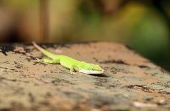 Anole vert scientifiquement connu sous le nom d'Anolis Carolinensis Image stock