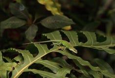 Anole vert scientifiquement connu sous le nom d'Anolis Carolinensis Photos stock
