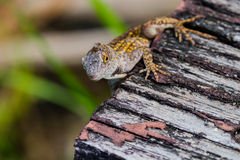 Anole with yellow spots Stock Photography