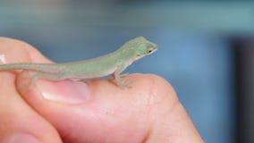 Anoles Lizard Reptile Closeup stock footage