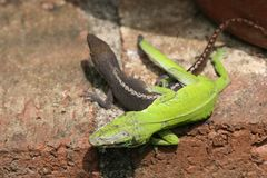 Anoles Mating. Pair of Anoles Mating royalty free stock photos