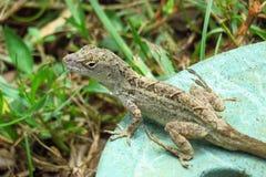 Anolis的sagrei或沐浴棕色anole的爬行动物在阳光下,Moir庭院,考艾岛,夏威夷 免版税库存照片