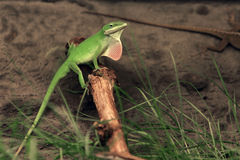 Anolis Royalty Free Stock Image