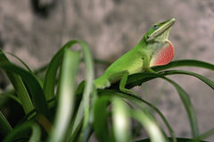 Anolis Royalty Free Stock Photography