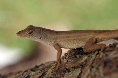 The Anolis Royalty Free Stock Photography