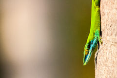 Anolis Stock Photo
