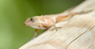 Anolis lizard Stock Photo